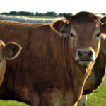 Farming – An Anglesey Way of Life